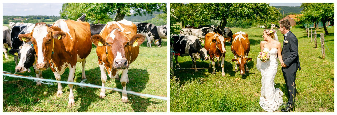 Hochzeit auf dem Land, die Kühe sehen dem Brautpaar beim Küssen zu.