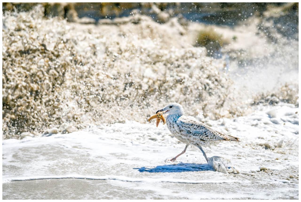 Wasserreinigung auf Sylt eine Möwe mit einem Seestern